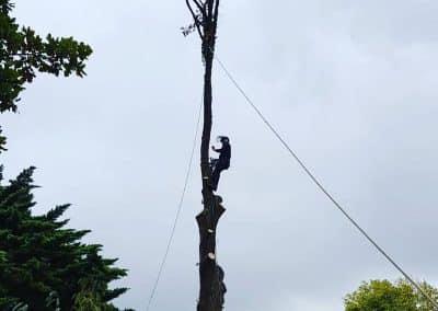 Felling of Pine 2